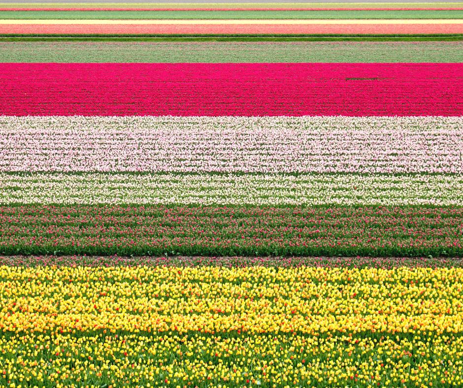 Vibrant-Tulip-Fields-in-Bollenstreek